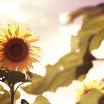 【高解像度】見つめるような向日葵(ヒマワリ)(3パターン)