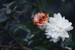 【高解像度】山茶花(サザンカ)の栄枯(3パターン)