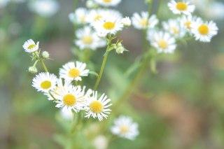 【高解像度】ふんわりした雰囲気の白い花(3パターン)