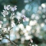 【高解像度】木漏れ日と十月桜(ジュウガツザクラ)(3パターン)