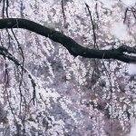 【高解像度】幽玄な雰囲気の枝垂れ桜(3パターン)