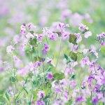 【高解像度】ムラサキハナナが咲く野原(3パターン)