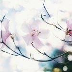 【高解像度】滲む光と八汐躑躅(ヤシオツツジ)(3パターン)