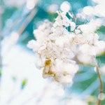 【高解像度】光と枯れ紫陽花(アジサイ)(3パターン)