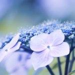 【高解像度】紫陽花の横顔(アジサイ)(3パターン)