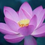 【高解像度】ピンク色の一輪の蓮(ハス)(3パターン)