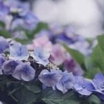 【高解像度】ふんわり咲く紫陽花(アジサイ)(3パターン)