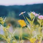 【高解像度】鮮やかなコスモス畑(3パターン)
