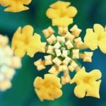 【高解像度】星のような黄色いランタナ(3パターン)
