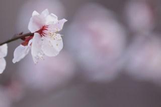 【高解像度】色づく白梅