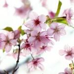 【高解像度】光に透けるピンク色の桜(サクラ)(3パターン)