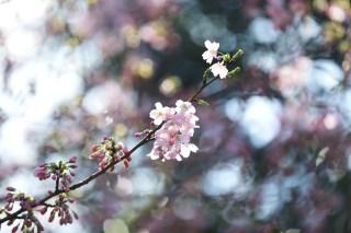 【高解像度】ステンドグラスのような光と桜(サクラ)(3パターン)