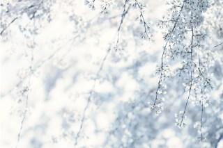 【高解像度】霞がかる枝垂れ桜(シダレザクラ)(3パターン)