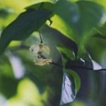 【高解像度】一本の蜘蛛の糸で繋がるヒョウスイボクの花(3パターン)