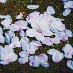 【高解像度】森の中の零れ桜(サクラ)(3パターン)