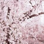 【高解像度】満開の枝垂れ桜(シダレザクラ)(3パターン)