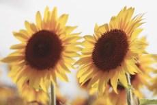 flower980-1-2