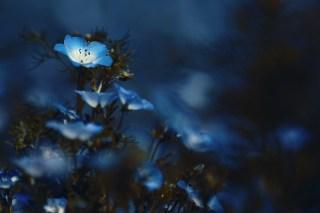 【高解像度】薄暗闇で光るようなネモフィラ(3パターン)