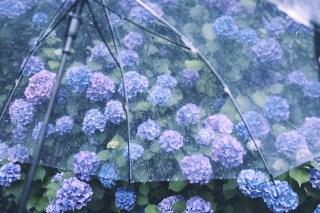 【高解像度】ビニール傘と満開の紫陽花(アジサイ)(3パターン)