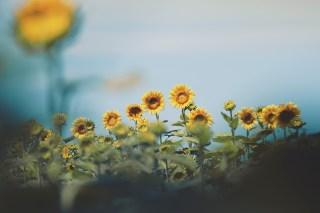 【高解像度】一列に並ぶ向日葵(ヒマワリ)(3パターン)