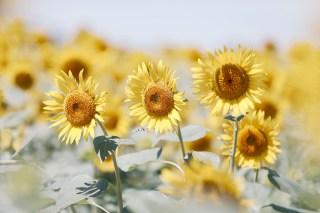 【高解像度】並んで咲く向日葵(ヒマワリ)(3パターン)