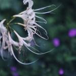 【高解像度】枯れかけの白花曼珠沙華(3パターン)