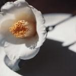 【高解像度】横たわる白い椿(ツバキ)(3パターン)