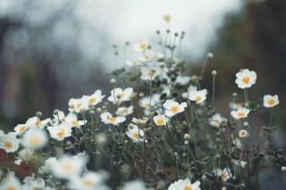 【高解像度】光に向かうような秋明菊(シュウメイギク)(3パターン)