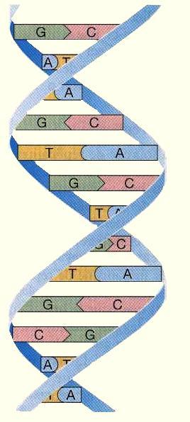 L ADN humain est un internet biologique
