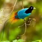 bd0e6 paradijsvogel1 - Paradijsvogels