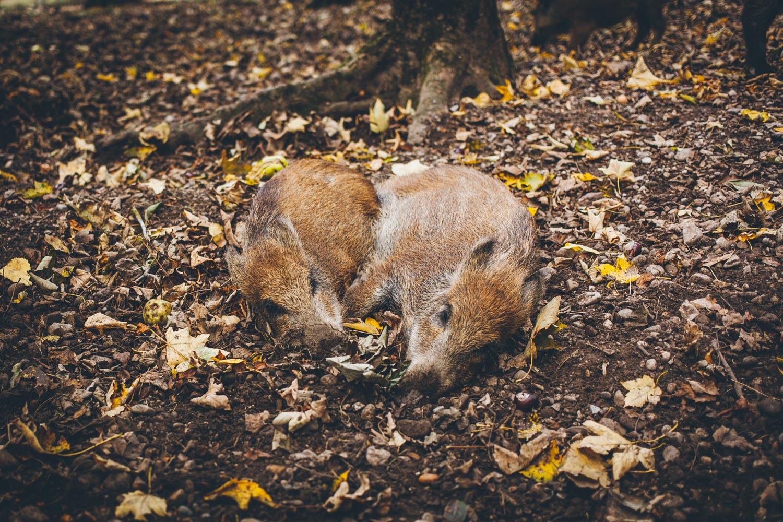 Wildschweine im Wildpark Pössinger Au. Foto: Neoheimat