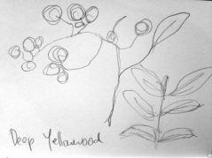 Deep Yellowwood sketch