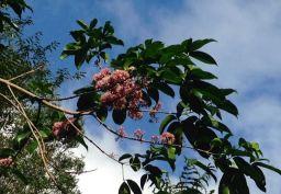 Pink Eudia flower on tree