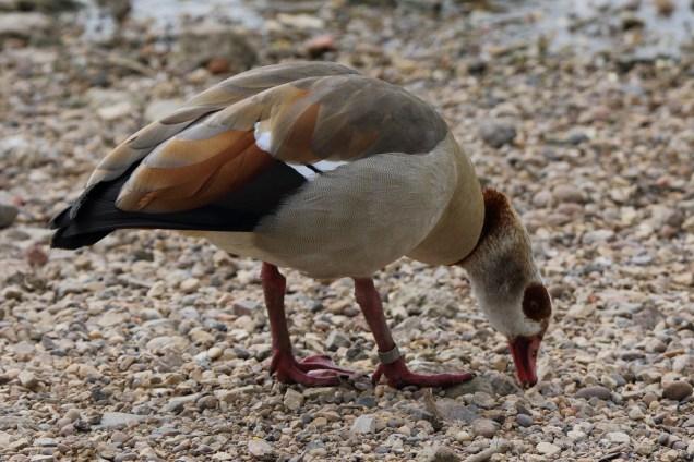 Egyptian Duck