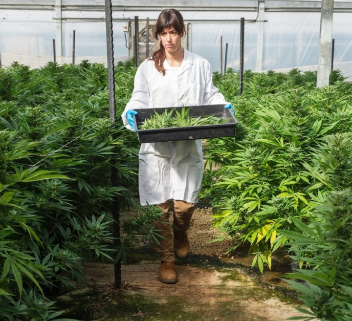 GemmaCert Pinpoints Potency and Composition of Cannabis Throughout Supply Chain