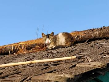 ilam cat on roof thumke