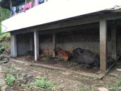 Improved cow shed