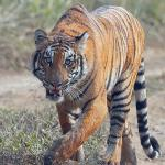 Tiger census begins today