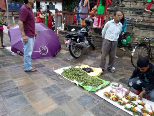 Dhaturo (a kind of intoxicating plant), which is offered to Lord Shiva, for sale at Kathmandu Durbar Square near Makhan Mahadev Temple.
