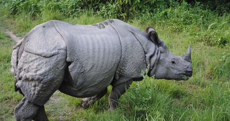 rhino chitwan national park