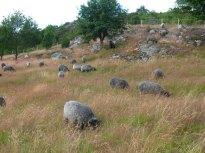 05-gotland-sheep-pilane-sweden