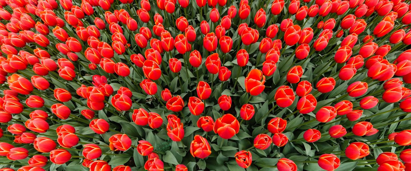 A great number of tulips, used to convey an inconceivable variety yet, at the same time, finite.