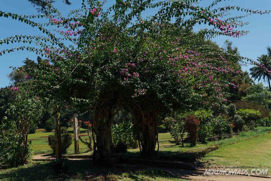 Pink_Flower_Tree_Victoria_Park_Nuwara_Eliya