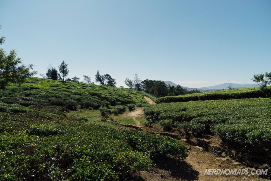 Tea_Plantation_Walk_Nuwara_Eliya