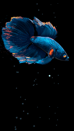 Betta Fish Live Wallpaper-2