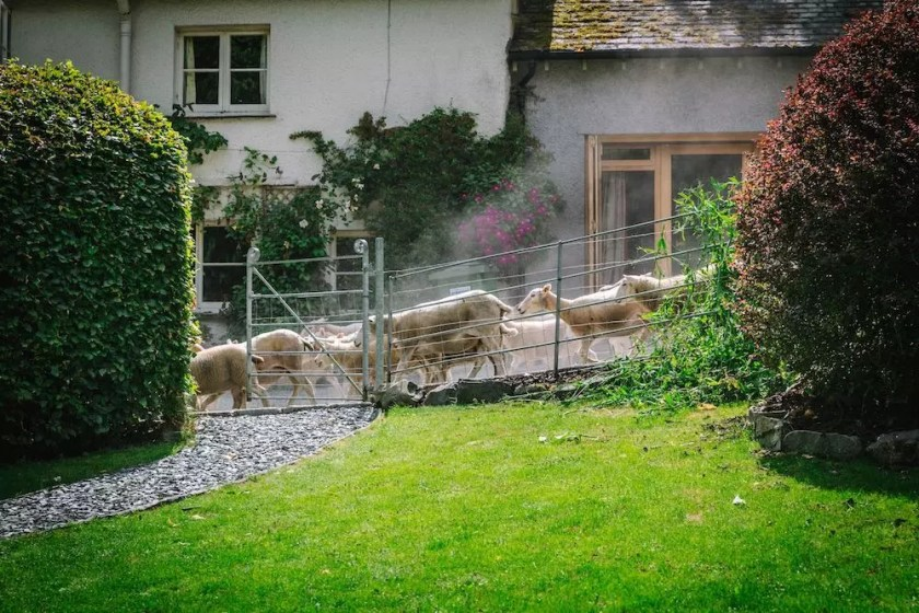 Sheep running down a lane with a farmhouse in the background