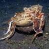 Australia Coconut Octopus