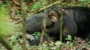 Oscar in Chimpanzee