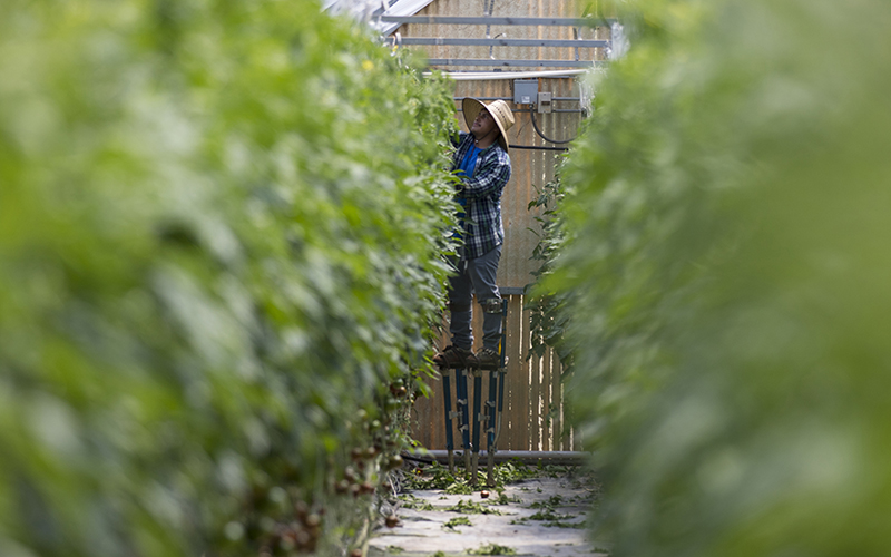 Workers at Abby Lee Farms in Phoenix use stilts to help them reach the top of the tomato plants, which can reach near the ceiling of the greenhouse. (Photo by Josh Orcutt/Cronkite News)