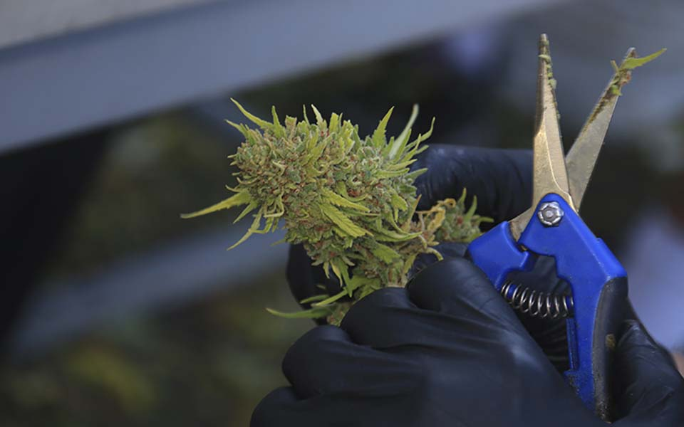"""A worker harvests a cannabis plant at a medical marijuana """"growhouse"""" in Tucson, Ariz.,on Saturday, Oct. 29. (Photo by Brian Fore/Cronkite News)"""